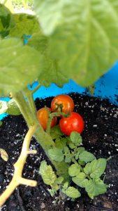 bucket tomatoes